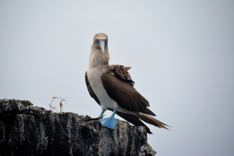 The blue footed Boobie is famous on Galapagos - Copyright by Ants-in-our-pants.com