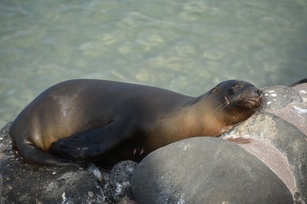 lazy sealion