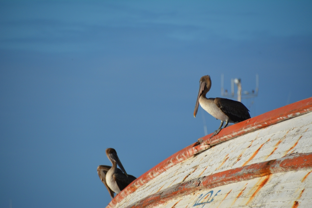 pelicans on a ship wreck