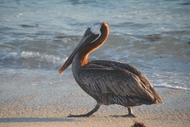 Pelican on Isabela, Galapagos
