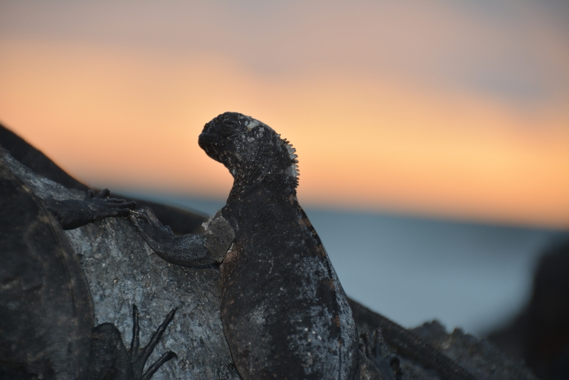 Sundown iguana Isabela Galapagos