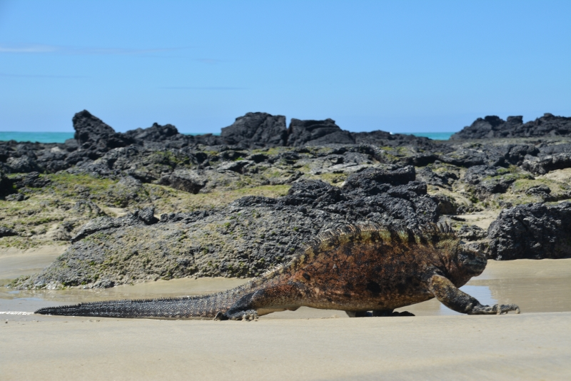 Iguana takes sunbath on Isabela, Galapagos - Travel with kids to Galapagos