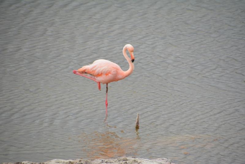 Flamingo on Isabela, Galapagos