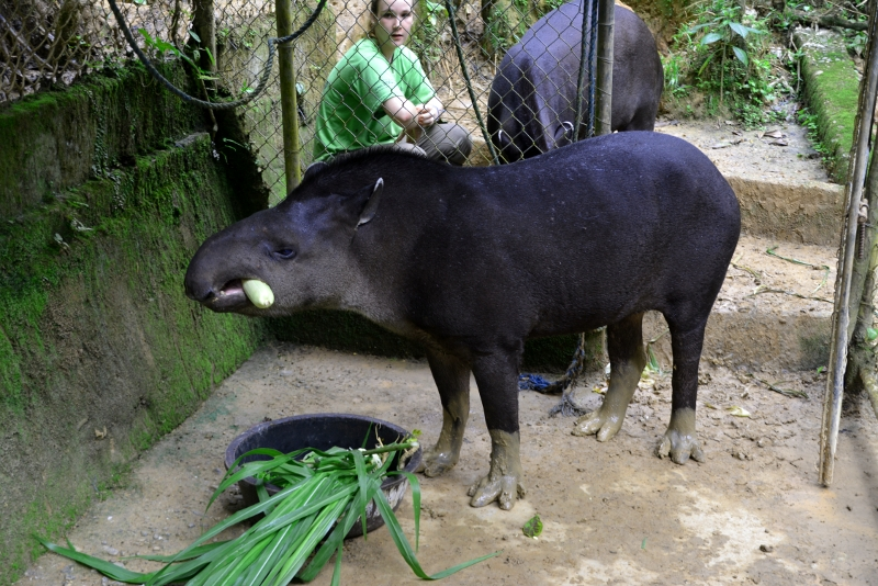 The Tapir is classified as endangered in Ecuador.