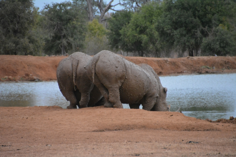 Massive rhinos - Copyright by www.ants-in-our-pants.com
